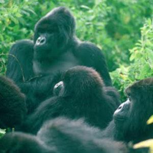 fotosp_gorilasenlaniebla2
