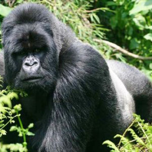 fotosp_gorilasenlaniebla3