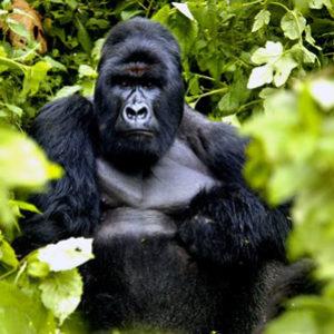 fotosp_gorilasenlaniebla9